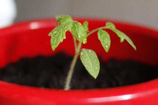 tomato-999110_640