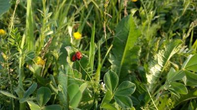 copia-de-ladybugs-1836262_1280